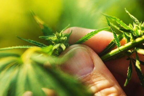 【フィーチャー】大麻関連銘柄に再度脚光が当たる