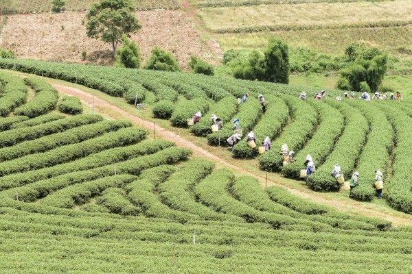 インドネシア【インフード・サクセス・マクムール(INDF)】農園を運営し、収益源の拡大が期待される