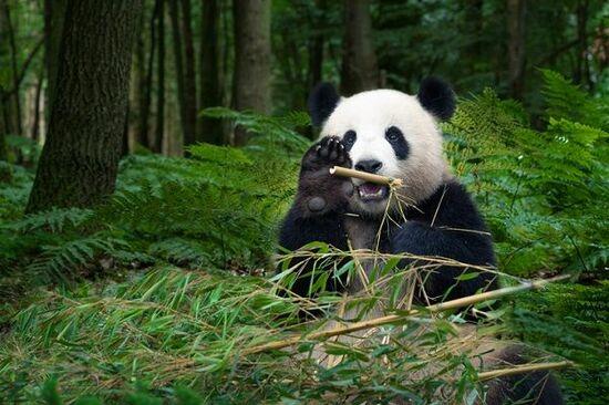 上野動物園でパンダ一般公開開始【1972(昭和47)年11月5日】